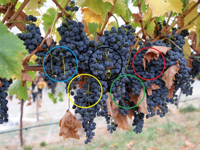 Olympic_Grapes_w_Rings
