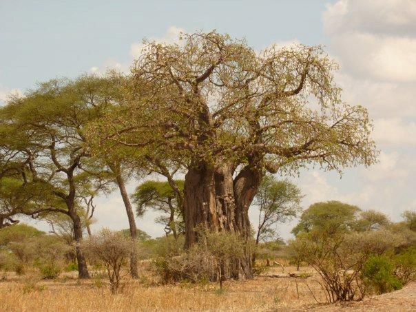 TZ_Baobab