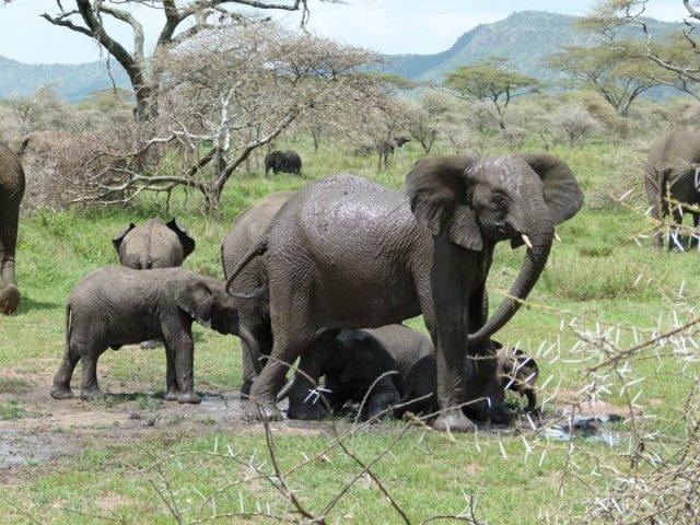 TZ_elephants1