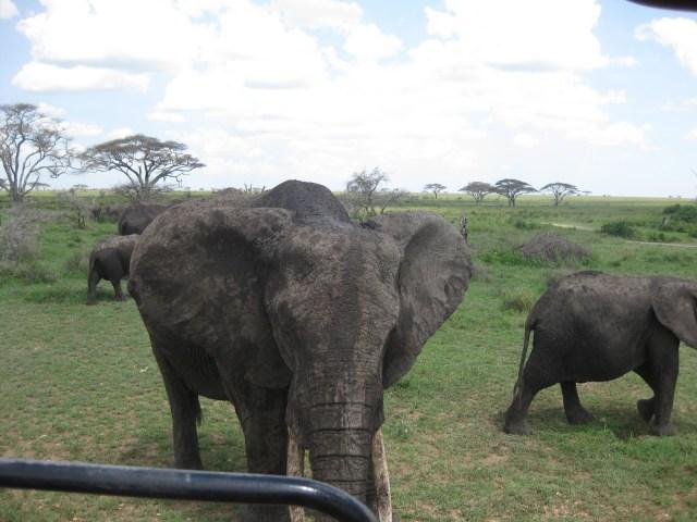 TZ_elephants2