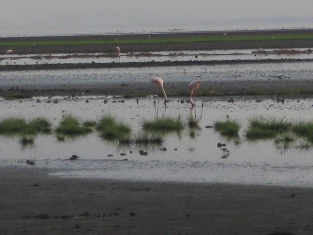 TZ_flamingos_2