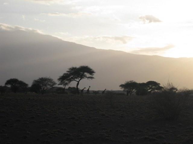 TZ_giraffes_Lake_Natron