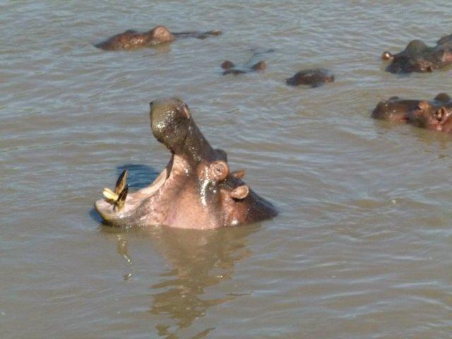 TZ_hippos