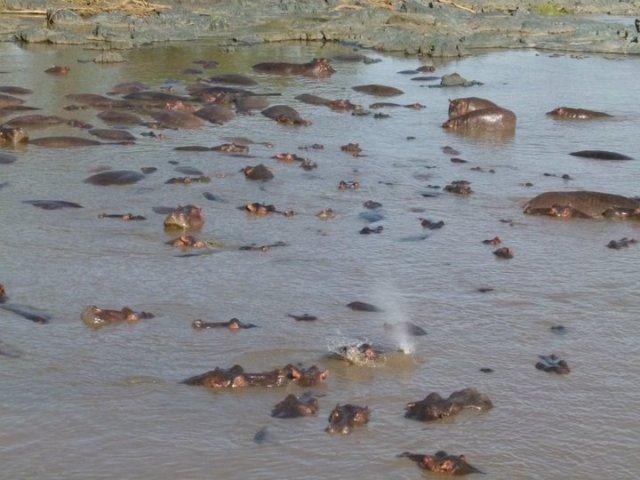 TZ_hippos2