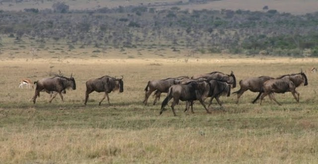 TZ_mara_wildebeest_running