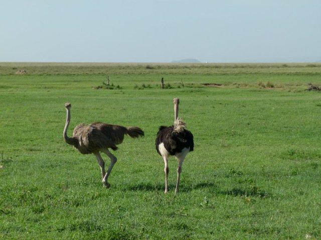 TZ_ostriches