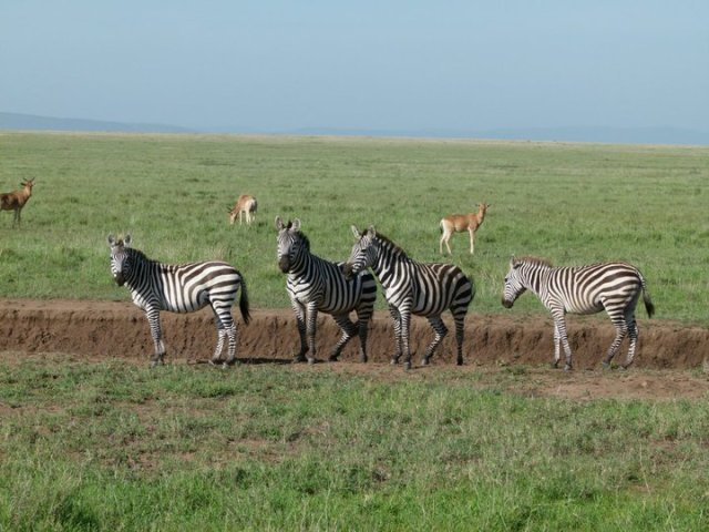TZ_zebras