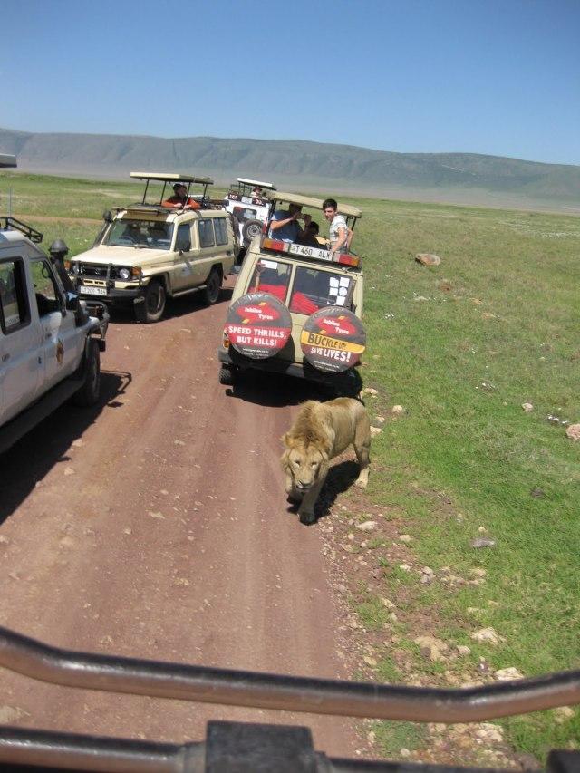 TZ_ngorongoro_lion1