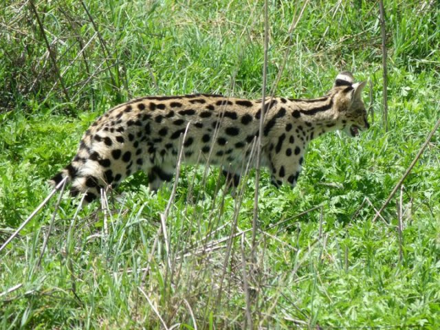 TZ_ngorongoro_serval_cat